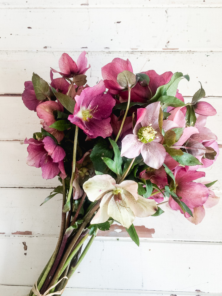 hellebores winter roses